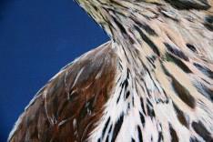 Detail Havik
