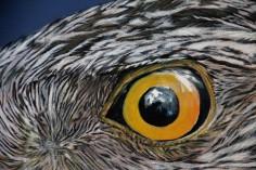 Detail oog havik
